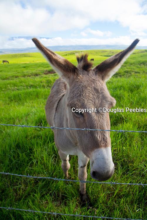 Donkey, Ranch Land , Waimea, Kamuela, Island of Hawaii