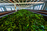Tea leaves pass down a conveyor belt for sorting, Blue Field Tea Factory, Ramboda, near Nuwara Eliya, Central Province, Sri Lanka.