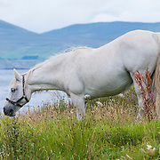 Connemara pony, Tully, Ireland