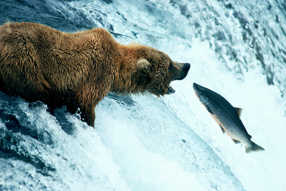 "Grizzly bear fishing for silver salmon in the Brooks River this ""leap of faith"" didn't work so well for the salmon - Alaska."