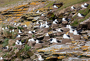 Colony of black-browed albatross (Thalassarche melanophrys) nesting at Saunders Island (close to Rockery cabin), the Falkland Islands.