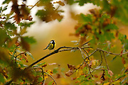 Great tit (Parus major) in oak tree woodland in autumn colours. The Biosphere Reserve 'Niedersächsische Elbtalaue' (Lower Saxonian Elbe Valley), Germany | Kohlmeise (Parus major), Kohl-Meise, Meise, Meisen im der Baumkrone einer Eiche. Niedersächsische Elbtalaue, Deutschland
