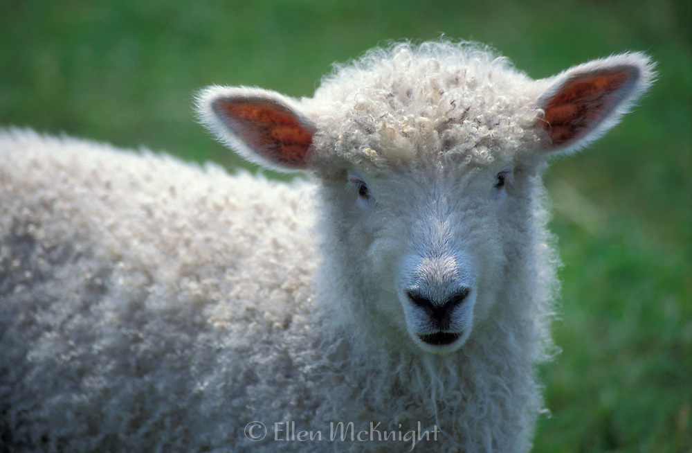 Portrait of a Lamb