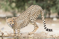 Cheetah drinking from the Cubitjie Quap waterhole, Kgalagadi Transfrontier Park, Northern Cape, South Africa