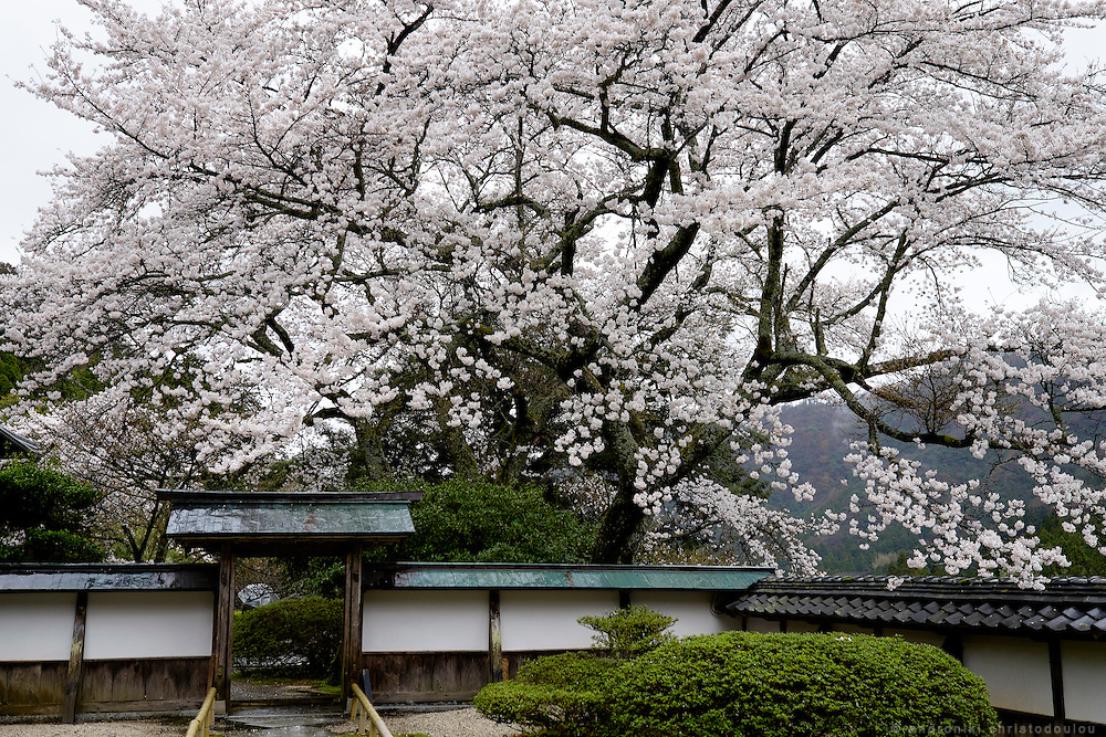 Cherry blossoms at Myouchuuji monastery of esoteric Buddhism near Obama city in Fukui prefecture on the Japan sea. Japan