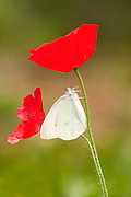 The Large White or Cabbage White (Pieris brassicae) Butterfly on a red poppy flower shot in Israel, Spring April
