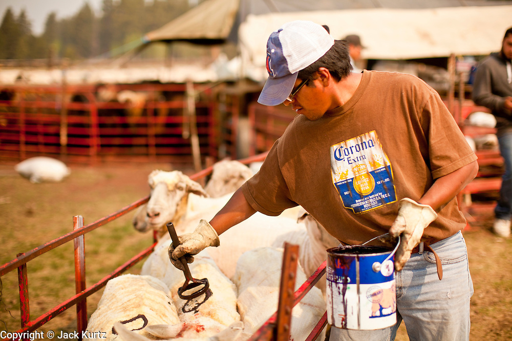 "05 JUNE 2011 - GREER, AZ: Hugo Rongora (CQ) brands sheep after they are shorn Sunday. The sheep are branded with paint because it doesn't hurt the sheep or the wool and as thee new wool coat grows out the paint remains visible while a traditional brand would not be seen. Mark Pedersen (CQ), of Sheep Springs Sheep Co, said they drove about 2,000 sheep from Chandler up to their summer pastures near Greer. They were supposed to start shearing on Friday, but didn't start till Friday because of the Wallow Fire. They also run cattle on land southeast of the sheep pasture, closer to Greer. Pedersen said they were prepared to move both the cattle and the sheep if they had to. He said the biggest problem with the smoke was that it bothered the sheeps' lungs much the same way it bother people's lungs. The fire grew to more than 180,000 acres by Sunday with zero containment. A ""Type I"" incident command team has taken command of the fire.  PHOTO BY JACK KURTZ"