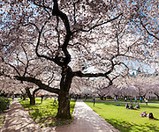 "Cherry trees flower in early April in Seattle, Washington, USA. The Yoshino cherry trees on ""the Quad"" (Liberal Arts Quadrangle) of the University of Washington were a senior gift from the class of 1959. The trees were rescued from a construction site for the Evergreen Point Floating Bridge and moved to campus in 1964. Panorama stitched from 3 overlapping images."