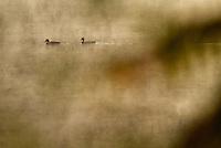 Mallards (Anas platyrhynchos) on Walden Pond.
