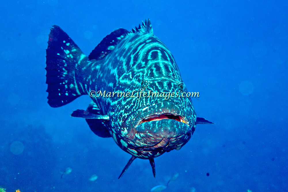 Black Grouper inhabit reefs in Tropical West Atlantic; picture taken Roatan, Honduras.