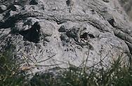 Vereinigte Staaten von Amerika, USA, Florida: amerikanischer Mississippi-Alligator (Alligator mississippiensis). Nahaufnahme eines Alligatoren-Gesichts, das aussieht, als ob es aus Stein waere. | United States of America, USA, Florida: American Alligator, Alligator mississippiensis, close-up portrait of a face, looking as if it is out of stone. |