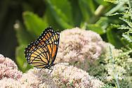 03421-00707 Viceroy (Limenitis archippus) on Autumn Joy Sedum (Sedum spectabile) Marion Co. IL