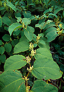 APANESE KNOTWEED Fallopia japonica (Polygonaceae) Height to 2m. Fast-growing and invasive perennial, quick to colonise roadsides and other wayside places; hard to eradicate. FLOWERS are whitish and borne in loose, pendulous spikes that arise from leaf bases (Aug-Oct). FRUITS are papery. LEAVES are large, triangular and borne on red, zigzag stems.