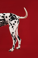 Dalmatian standing tail and hind legs side view