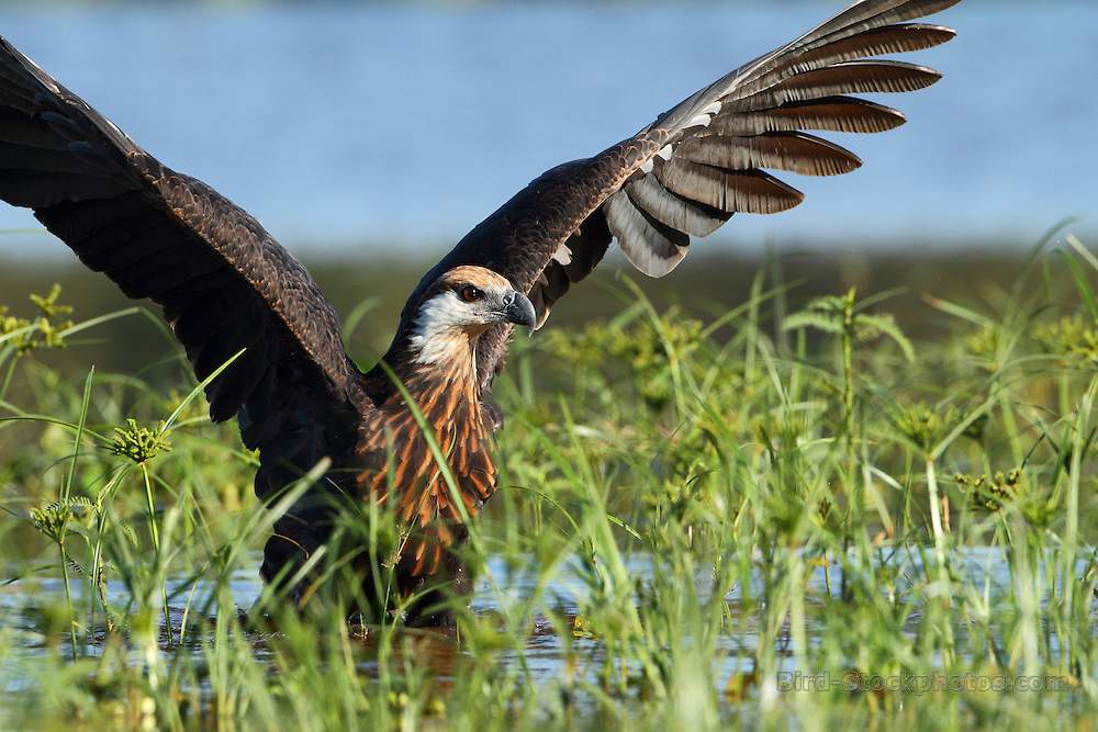 Madagascar Fish Eagle, Haliaeetus vociferoides, Madagascar, by Markus Lilje