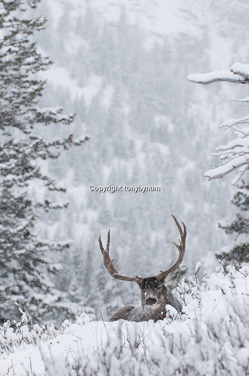 large mature muledeer buck bedded deep snow, winter, rut fir forest background