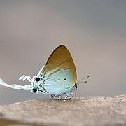Fluffy Tit Butterfly (Zeltus amasa maximinianus) in Pang Sdia National Park, Thailand.