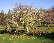 Apple tree orchard shedding apples in autumn, Suffolk, England