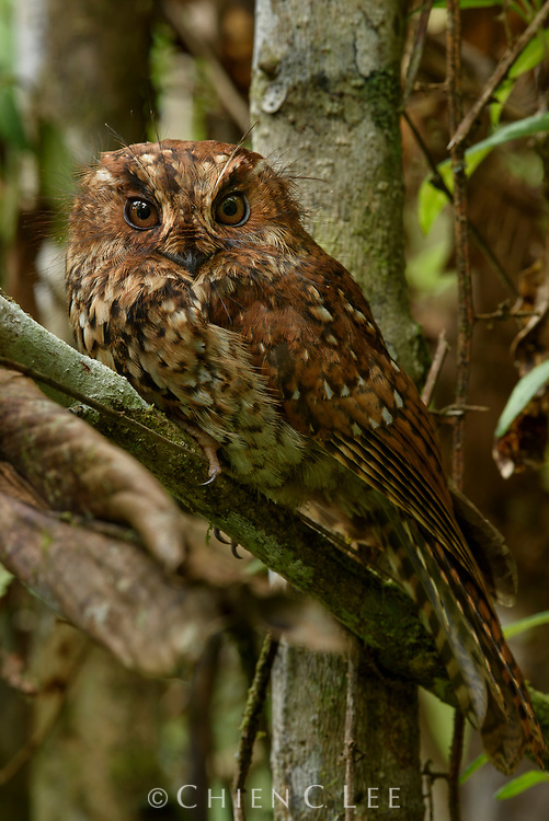 Endemic to the mossy cloud forests of Papua, a Mountain Owlet-nightjar (Aegotheles albertisi) rests by the day in a thicket of vegetation. Biologists once believed that these strange cryptic birds (family Aegothelidae) were close relatives of the frogmouths due to their similar appearance and habits. Studies of their skulls has revealed that they are in fact more closely related to hummingbirds and swifts. Almost the entire family (7 of 10 species) is restricted to New Guinea.