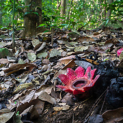 Kaeng Krachan National Park's Sapria himalayana is a root parasite dependent on its host plant for water and nutrients. It is related to the more famous Rafflesia to be found in  further south in Thailand but of a different species.