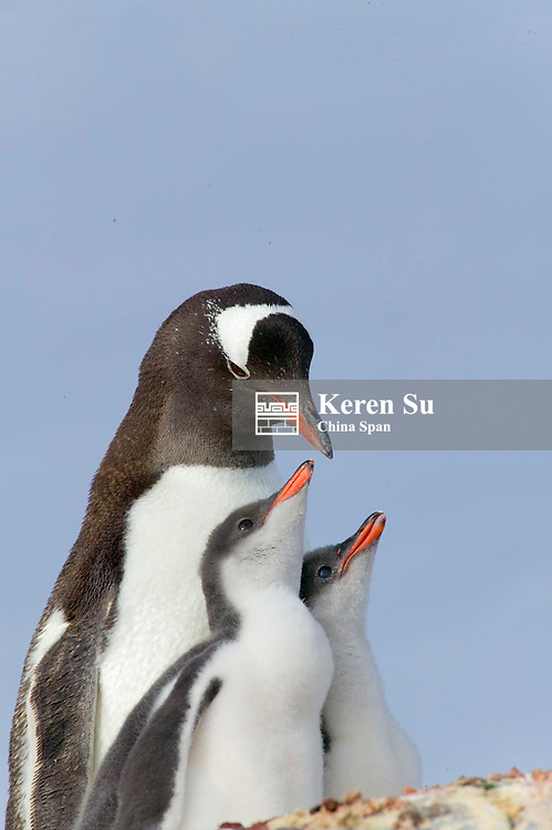 Gentoo Penguin (Pygoscelis papua), mother with chicks, Dorian Bay, Antarctica
