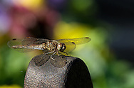 A Dragonfly alights on a garden chair