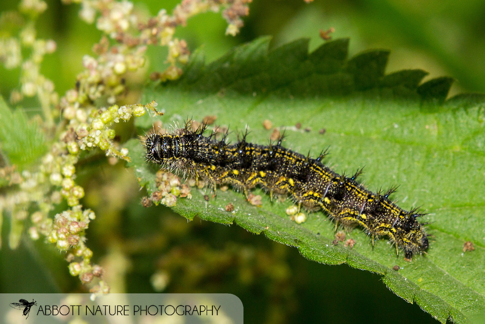 Small tortoiseshell (Aglais urticae) caterpillar<br /> UNITED Kingdom: England<br /> Wicken Fen Nature Preserve off Lodge Lane<br /> 18-Jul-2017<br /> J.C. Abbott