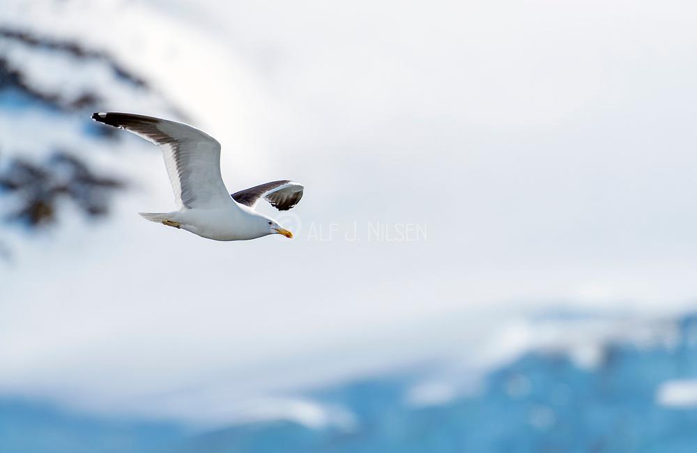 Kelp Gull (Larus dominicanus) from Cuverville Island, Antarctica