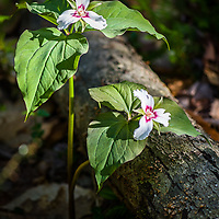 Painted Trillium (Trillium undulatum).<br />