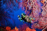 A diver explores sea fans growing on Lesleen M freighter wreck off Castries, St. Lucia.