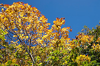 Top of a tree in autumn sunlight against a blue sky