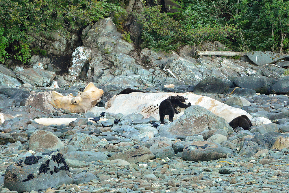 Grizzly bears consume the carcass of a dead beached humpback wale on a rocky shoreline in southeast Alaska.