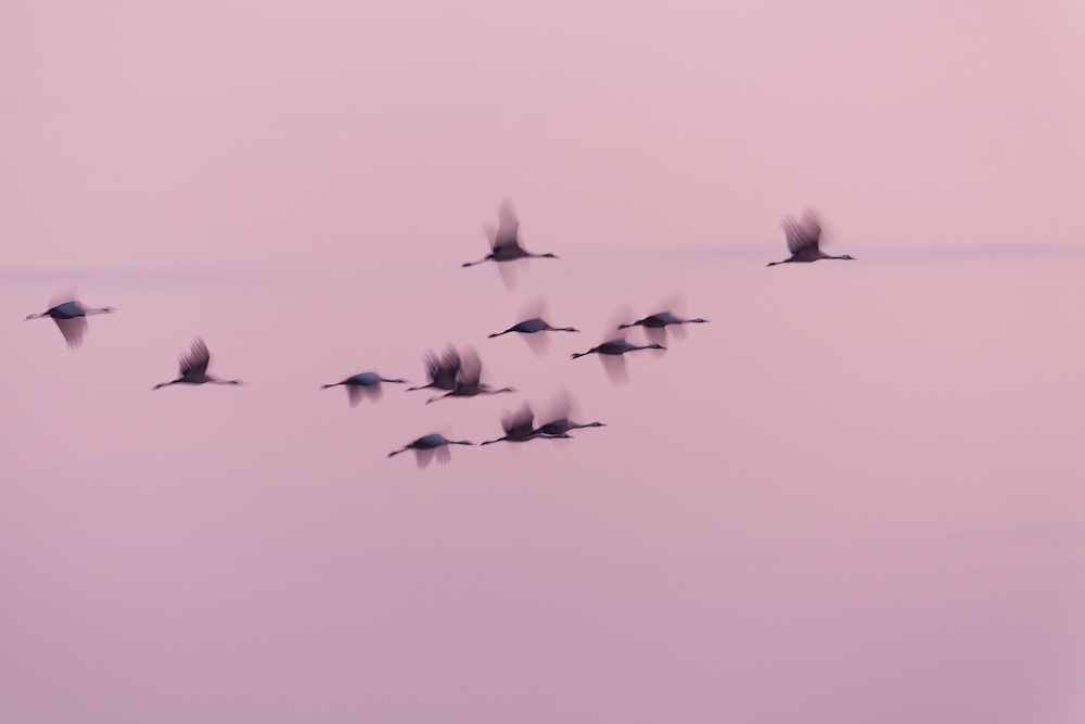 Abstract image of Cranes flying in last light of the sun, Lac en Der, France