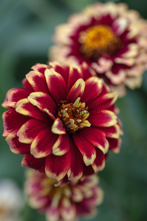 Zinnia haageana 'Jazzy Mixture' - Mexican zinnia