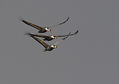 White-Naped Cranes, Grus vipio