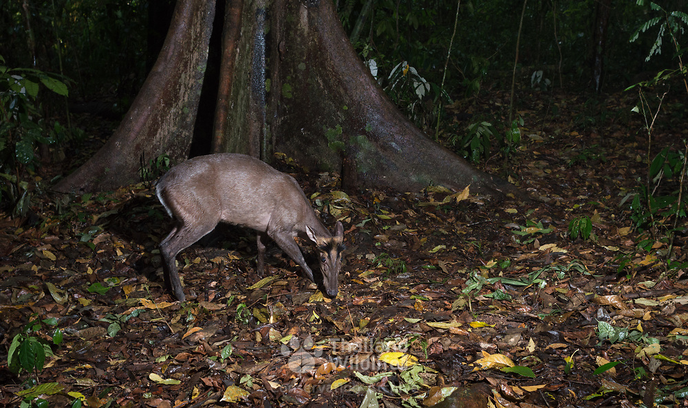 Fea's Muntjac (Muntiacus feae)<br /> The Fea's Muntjac or Tenasserim muntjac (Muntiacus feae) is a rare species of muntjac native to China, Laos, Myanmar, Thailand and Vietnam. Photo in Kaeng Krachan National Park, Thailand.