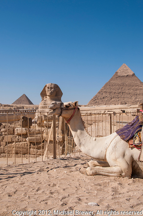 White camel, 2 pyramids and the Sphinx set against a lovely blue sky in Giza, Egypt.