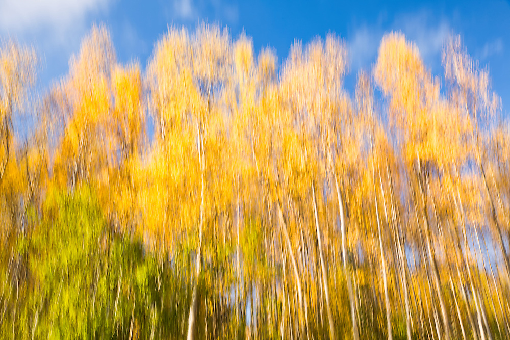 Creative blur of aspen and birch trees gives an impressionistic, painterly feel to fall foliage in Eagle River in Southcentral Alaska in late autumn. Afternoon.