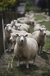 July 21, 2019 - Sheep  (Credit Image: © Deddeda/Design Pics via ZUMA Wire)