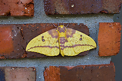 15 July 2009: female imperial moth. large American moth having yellow wings with purplish or brownish markings; larvae feed on e.g. maple and pine trees..Family: Wild Silk Moths (Saturniidae) Subfamily: Royal Moths (Citheroniinae).. (Photo by Alan Look)