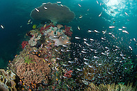 Reefscape with Hard and Soft Corals, Reef fish<br /> <br /> shot in Indonesia
