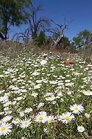Lazy Daisy (Aphanostephus skirrhobasis) Llano County, Texas