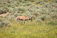 Pronghorns (Antilocaprids)