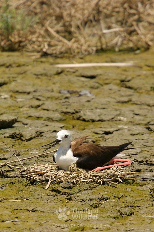 Black-winged Stilt, Himantopus himantopus, tending for eggs at the nest site
