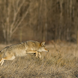 A coyote pounces on his rodent prey.