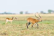 Red Lechwe ram running across waterlogged grasslands, Chobe River, Kasane, Botswana.