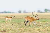 Red Lechwe ram running across waterlogged grasslands, Chobe River, Kasane, Botswana.