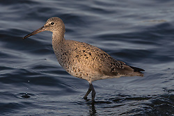 Long-billed Dowitcher (Limnodromus scolopaceus), Shoreline Park, Mountain View, California, United States of America