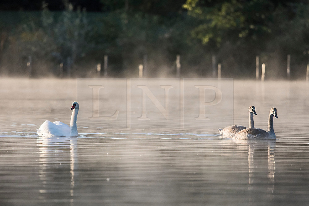 © Licensed to London News Pictures. 24/09/2018. London, UK. A swan and cygnets sit on a myst covered Serpentine Lake on a cold Autumn morning in Hyde Park, central London. Photo credit: Ben Cawthra/LNP