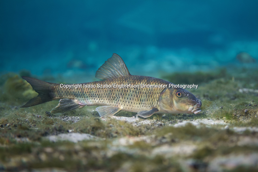 Spotted Sucker<br /> <br /> Isaac Szabo/Engbretson Underwater Photography